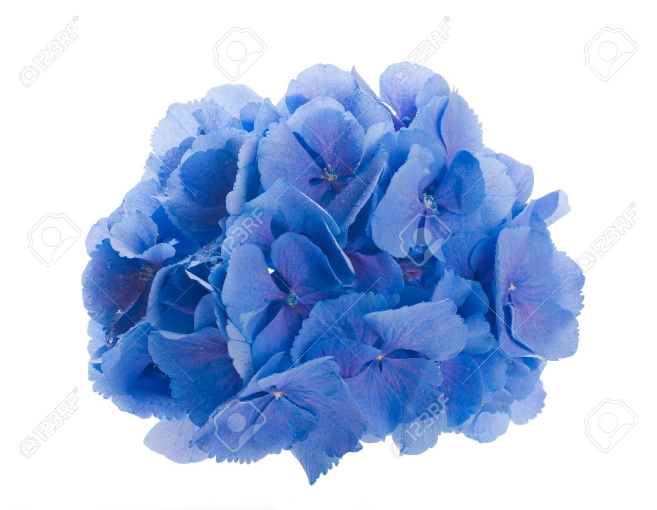 Flowers In A Bouquet Blue Hydrangeas And White Flowers Stock Photo