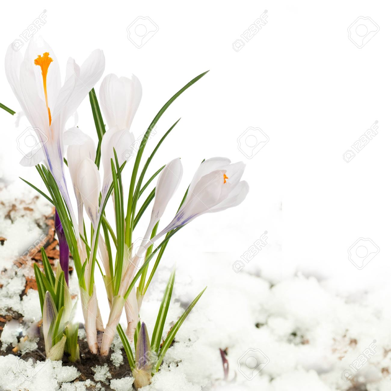 Fruhlingsblumen Weiss Dunkelblau Krokusse Gegen Schnee Lizenzfreie