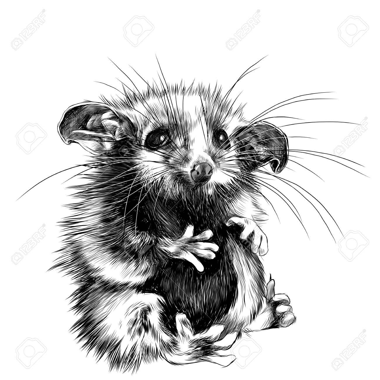 A Possum Sits A Little Cute Funny, Sketch Vector Graphics Black ...