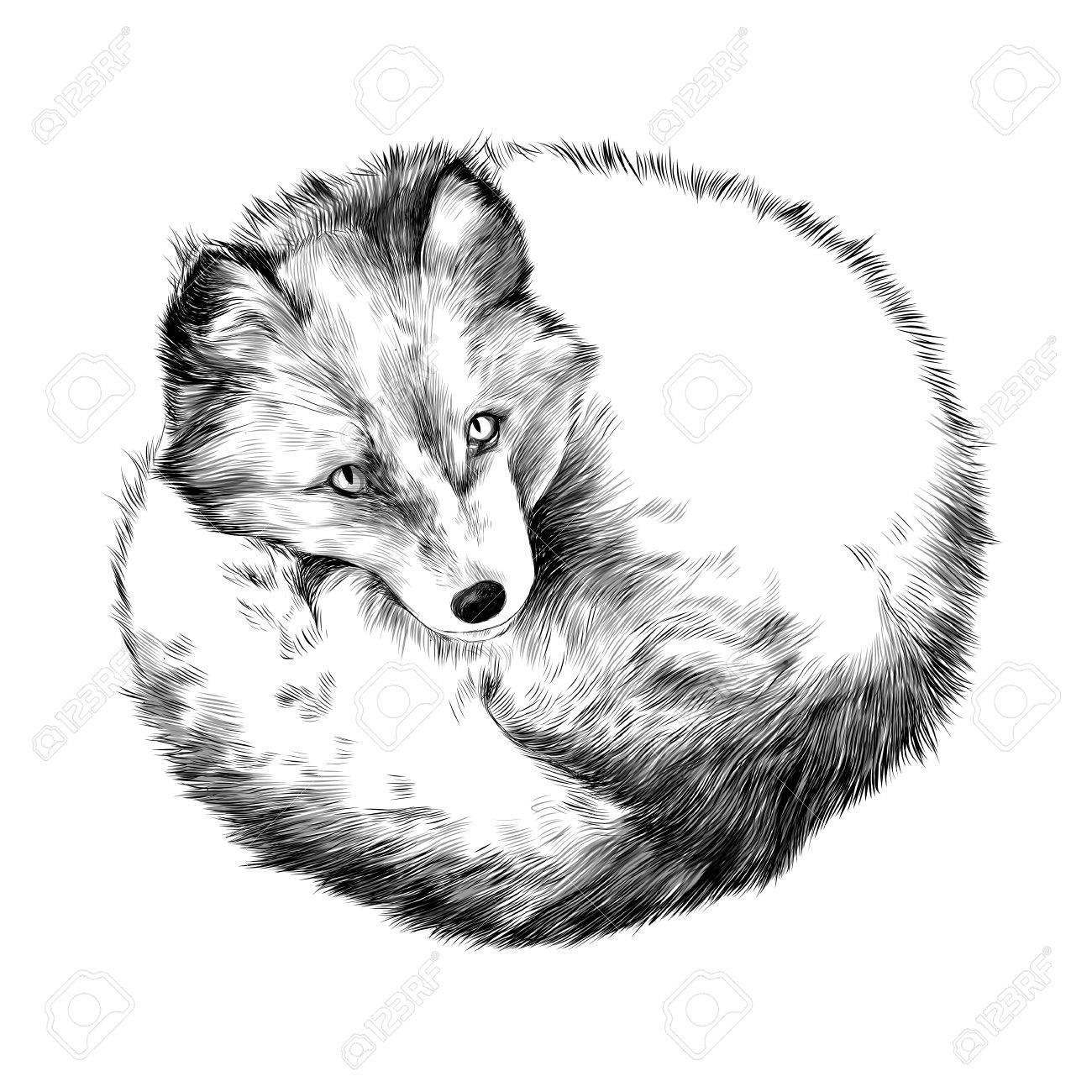 Arctic fox lying on snow sketch vector graphics black and white drawing stock vector 75435291