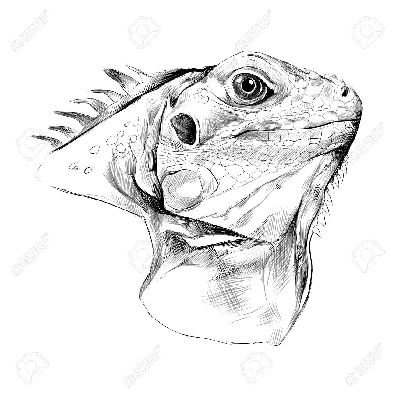 Profil D Iguane De Tete Croquis De Graphiques Vectoriels Noir Et Blanc Dessin Clip Art Libres De Droits Vecteurs Et Illustration Image 75341888
