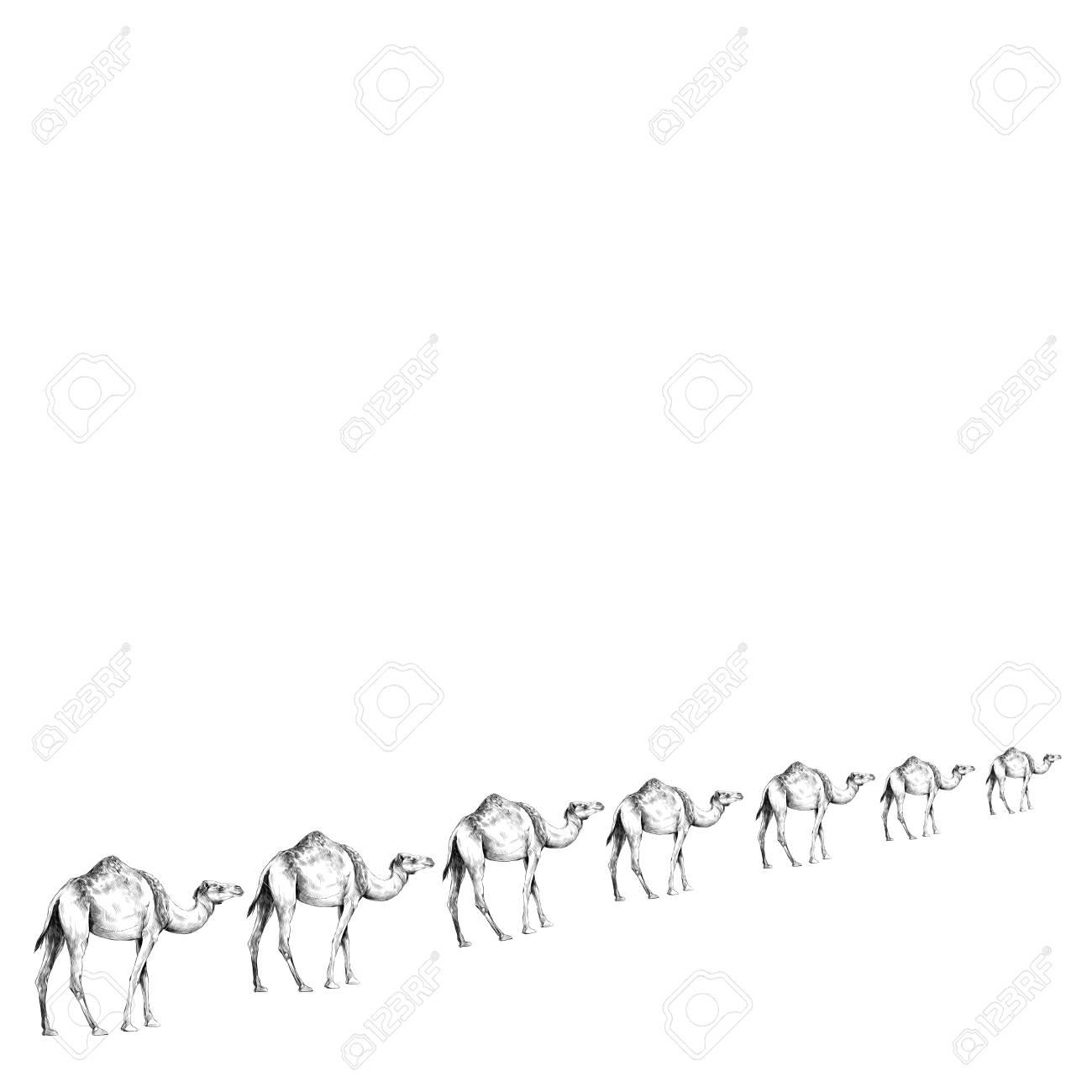 Una Caravana De Camellos En Una Línea Que Va En Perspectiva ...