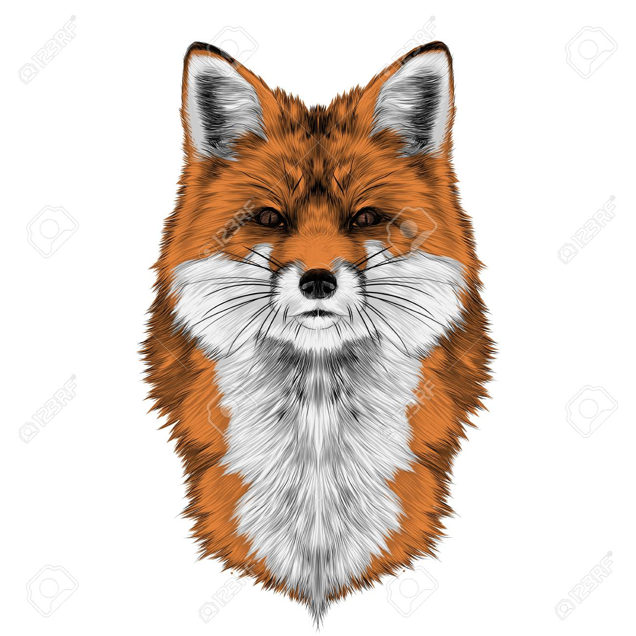 Fox Head Front Looking Directly Sketch Vector Graphics Color Royalty Free Cliparts Vectors And Stock Illustration Image 81011287