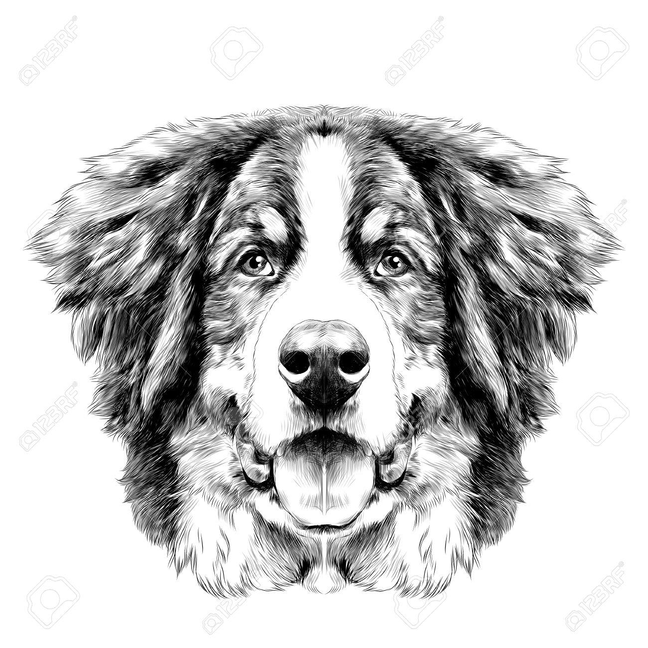 Disegno Cane Bianco E Nero.La Testa Del Cane E Simmetrica Davanti Al Bernese Cane Di Montagna Disegno Sketch Vettoriale Bianco E Nero