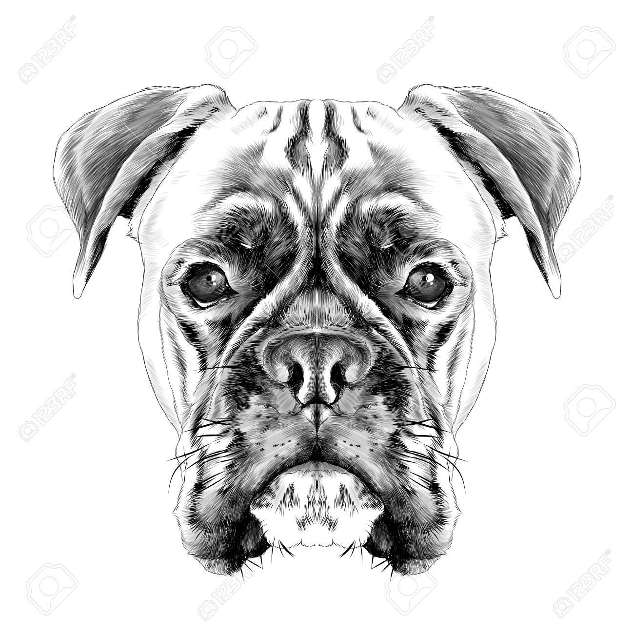 the head of the dog breed boxer dog collar c a vector sketch