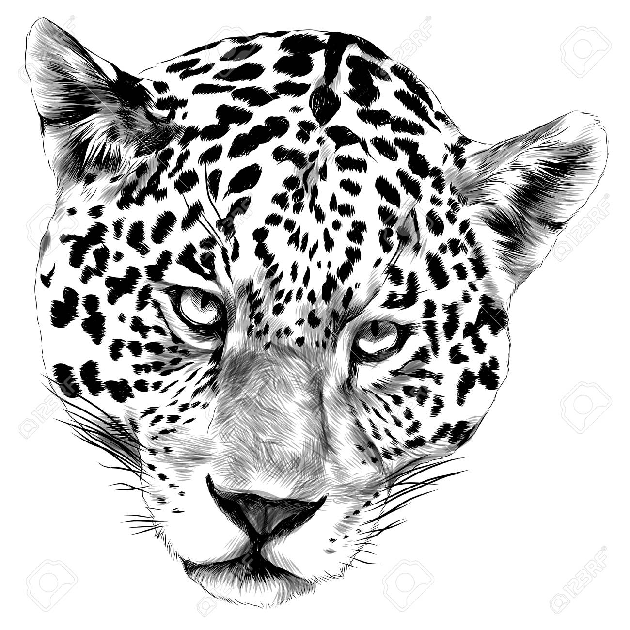 Jaguar Head Sketch Vector Graphics Monochrome Black And White Royalty Free Cliparts Vectors And Stock Illustration Image 91578843