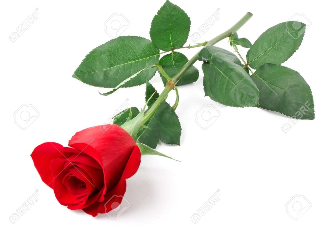 Branch of red rose isolated on white background Stock Photo - 10191558