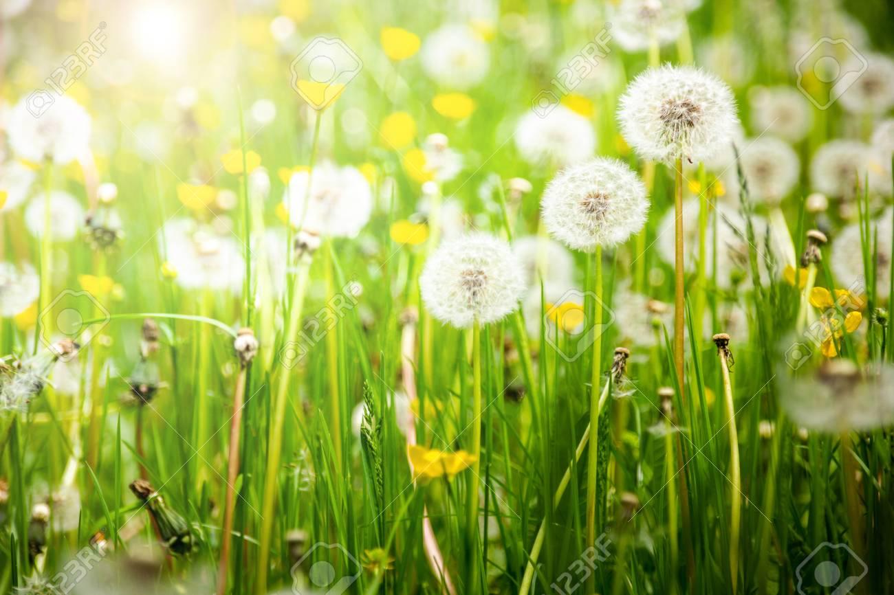 Dandelions on a summer meadow - 124791554