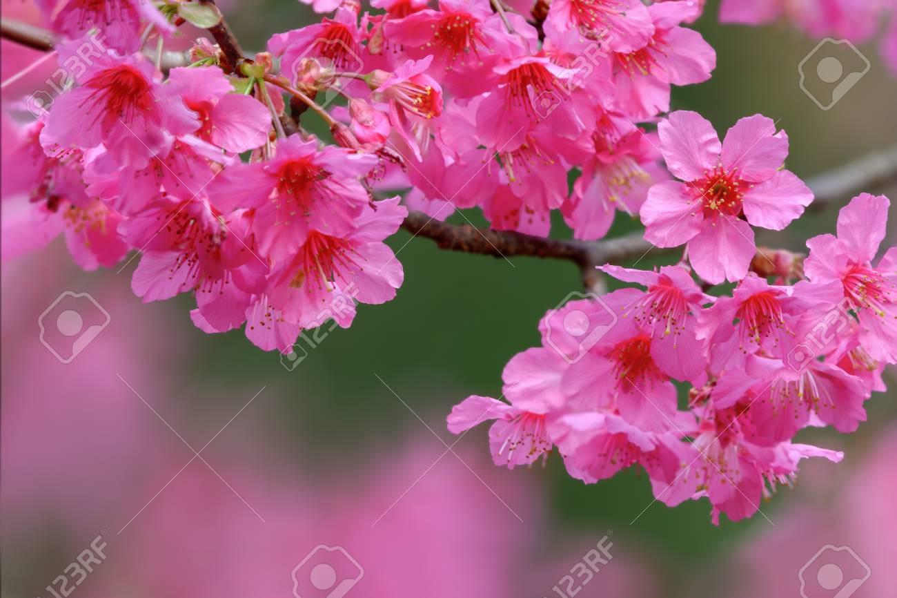 Cherry Blossom Or Japanese Flowering Cherry Beautiful Pink Flower