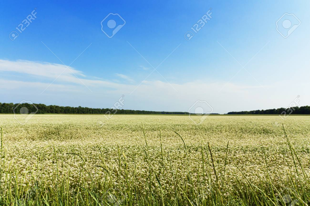 Beautiful field with white flowers Stock Photo - 16312785