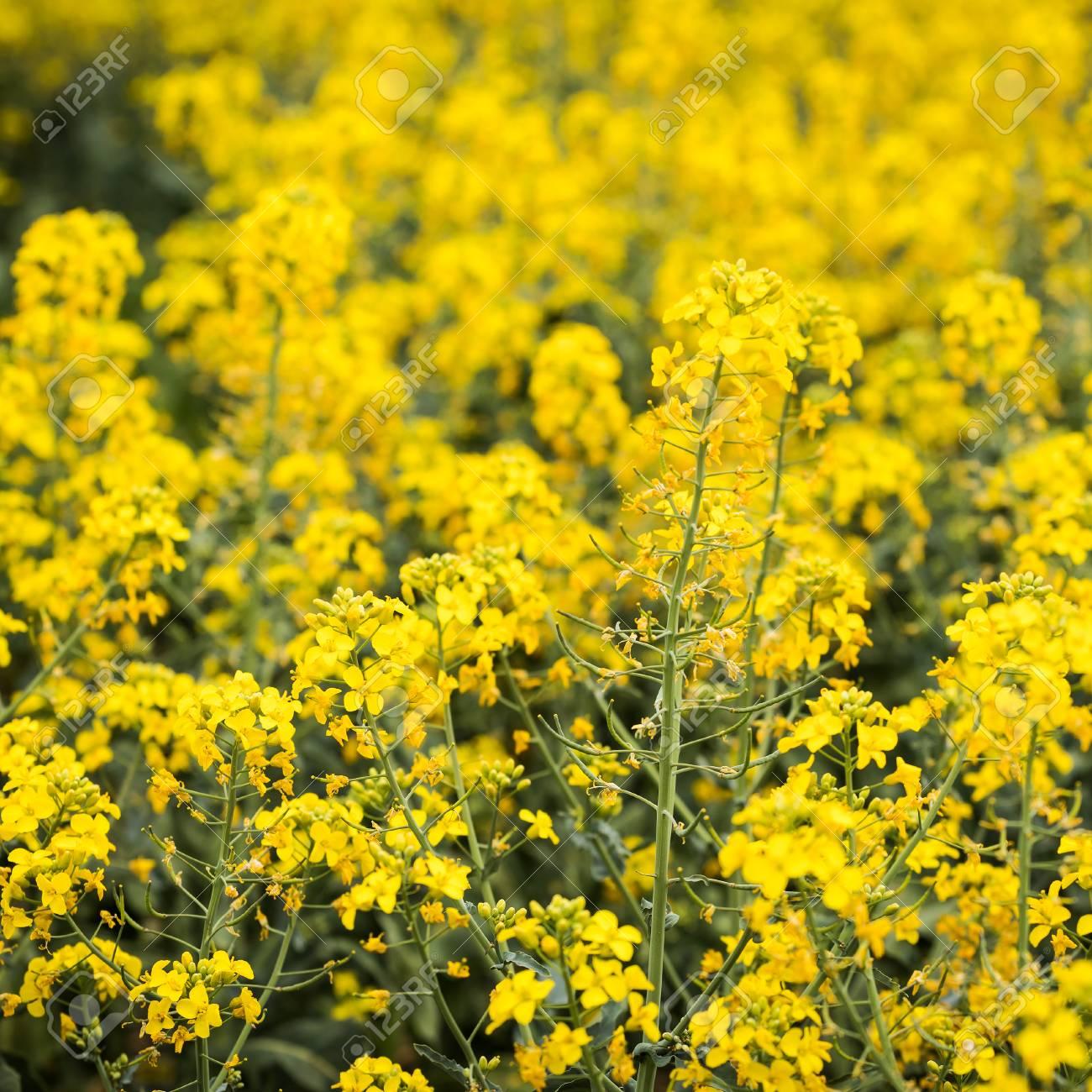 Yellow rapeseed field with bright yellow flowers on dark green stock photo yellow rapeseed field with bright yellow flowers on dark green stems mightylinksfo
