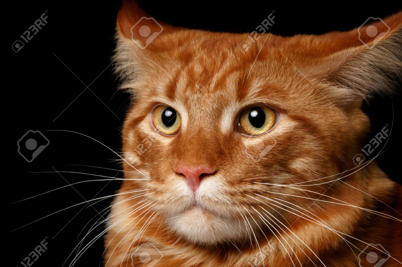 Ginger male maine coon