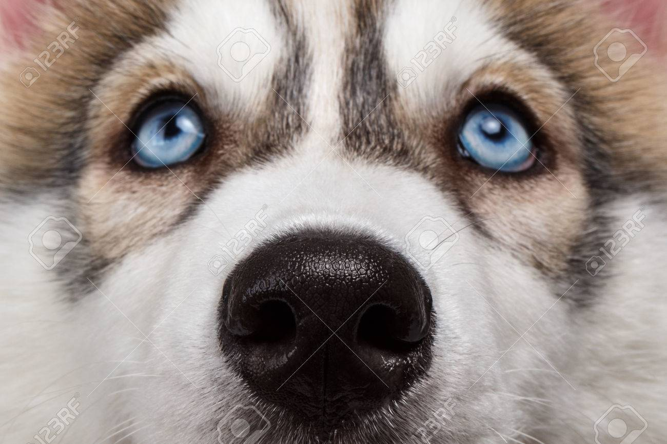 Closeup Blue Eyes With Nose Siberian Husky Puppy Stock Photo