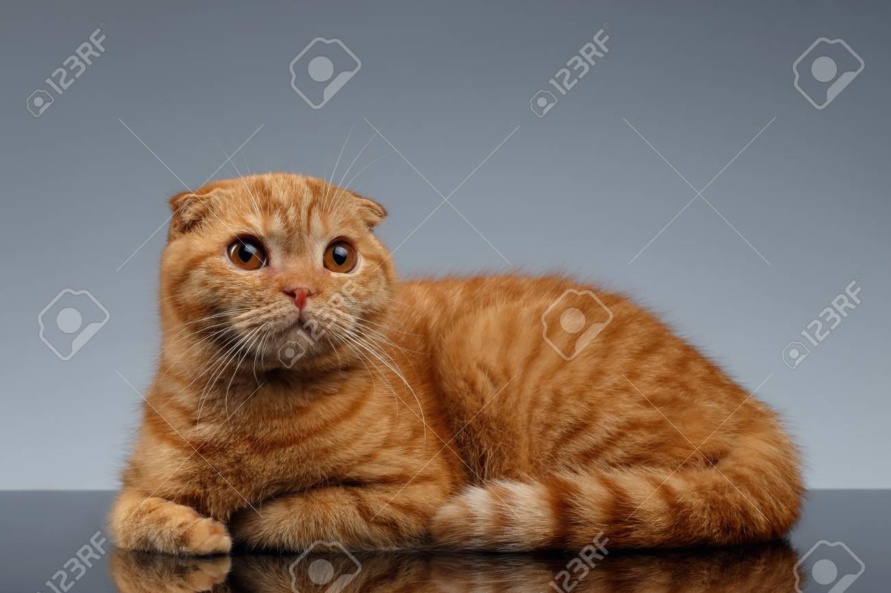 Ginger Scottish Fold Cat Lies on Gray Background
