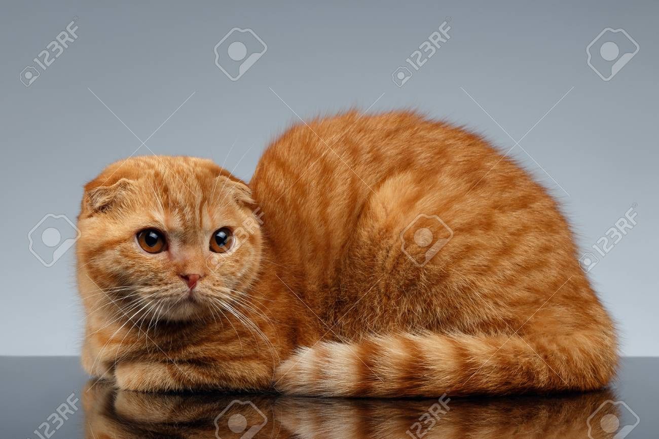 Ginger Scottish Fold Cat Lies on Gray Background