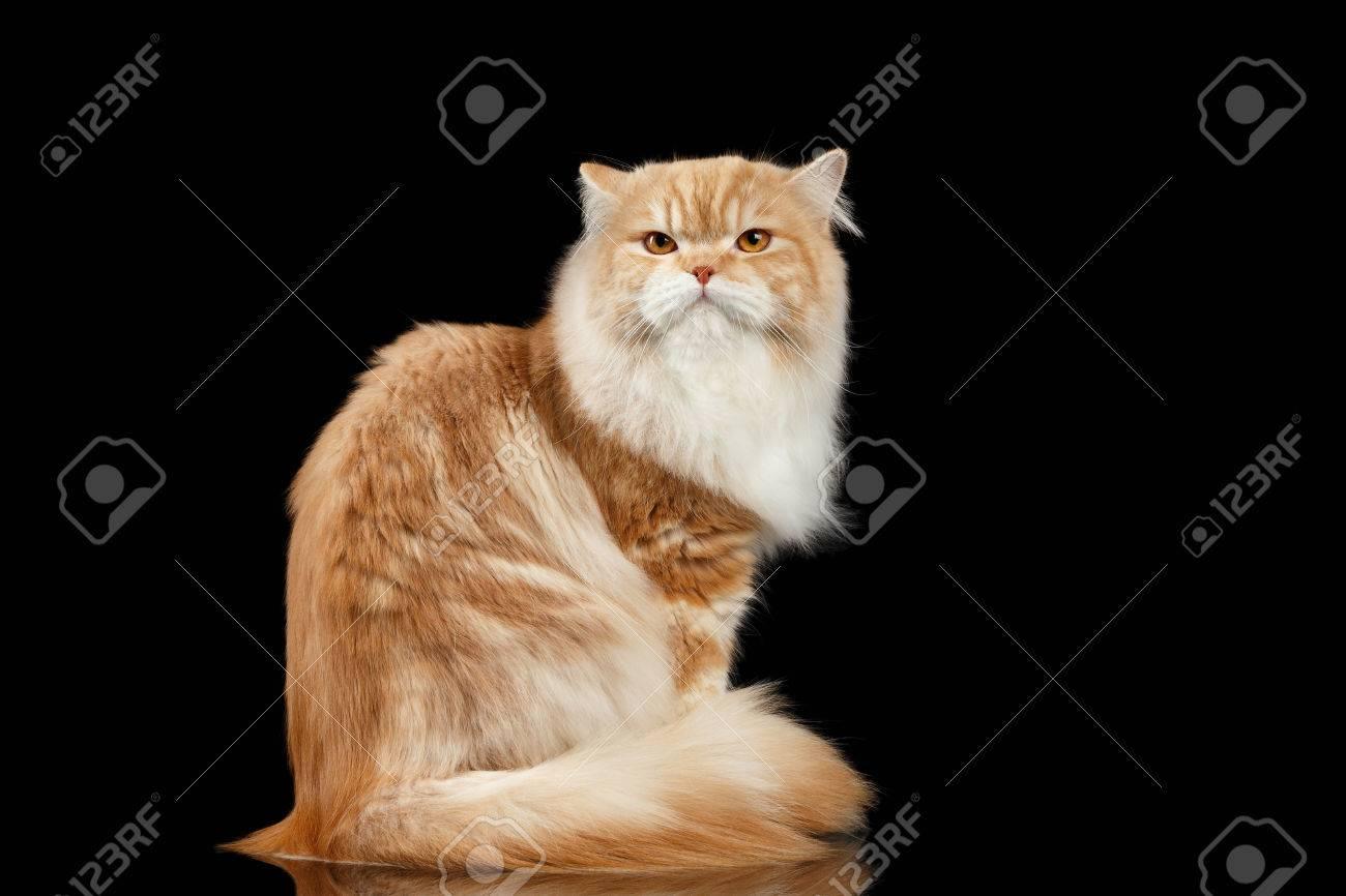 Immagini Stock Rosso Grande Adulto Gatto Persiano Arrabbiato Si