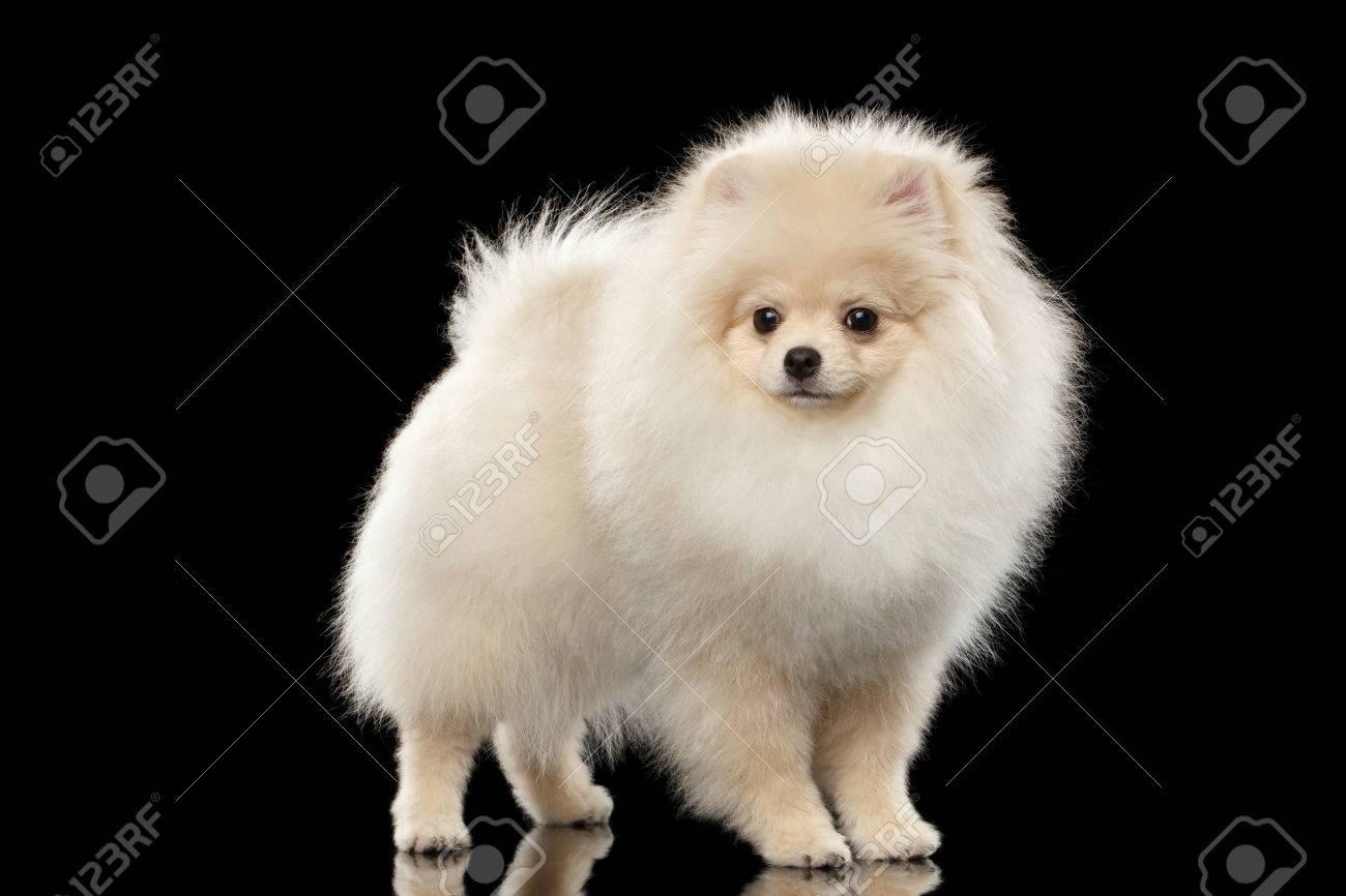 ふわふわかわいい白ポメラニアン スピッツ犬立って前にビューの黒背景上の分離