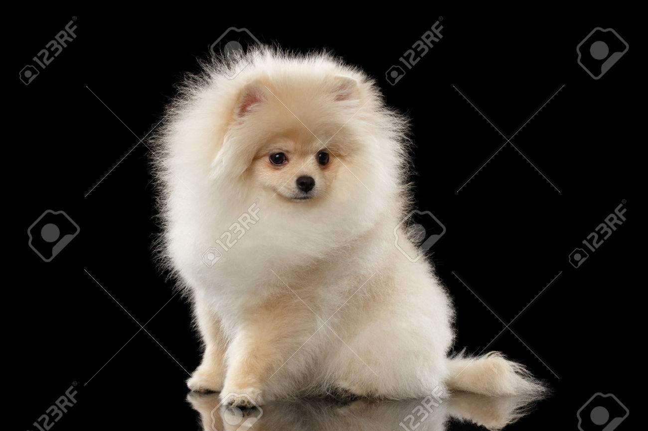 ふわふわかわいい白ポメラニアン スピッツ犬の上に座ってミラー前にビューの黒背景上の分離