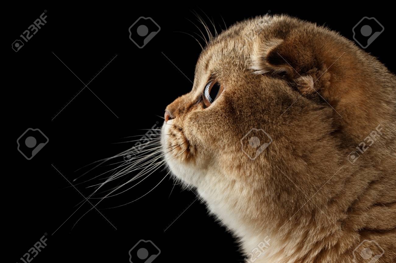 Closeup Scottish Fold Cat In Profile View Isolated On Black Background Stock Photo Picture And Royalty Free Image Image 57593919