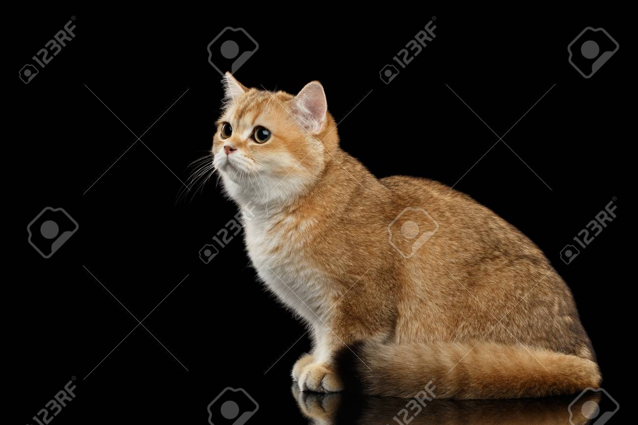 Golden Chinchilla cat: description of the breed, character, characteristics of care and maintenance 37