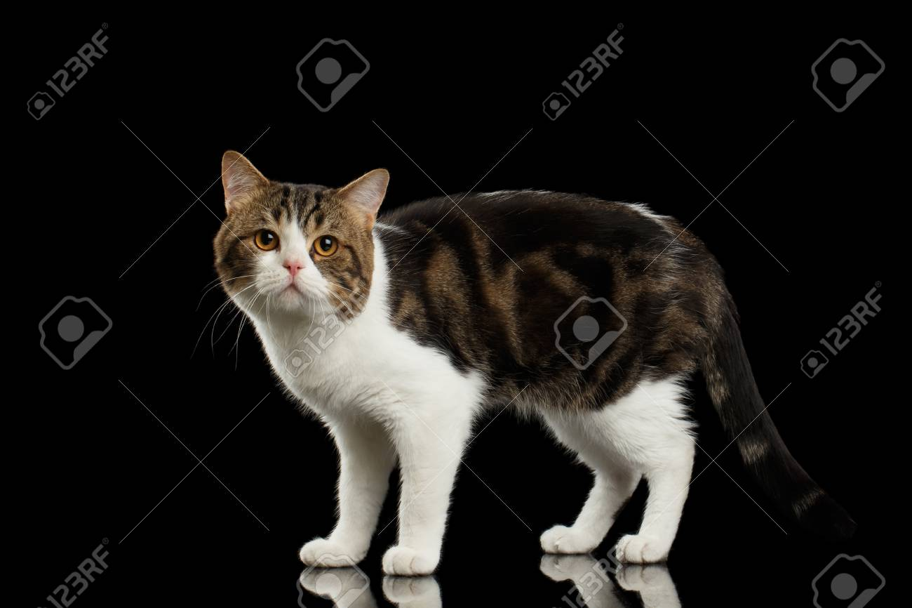 Sad Scottish Straight Cat White With Brown Tabby Standing In.. Stock ...