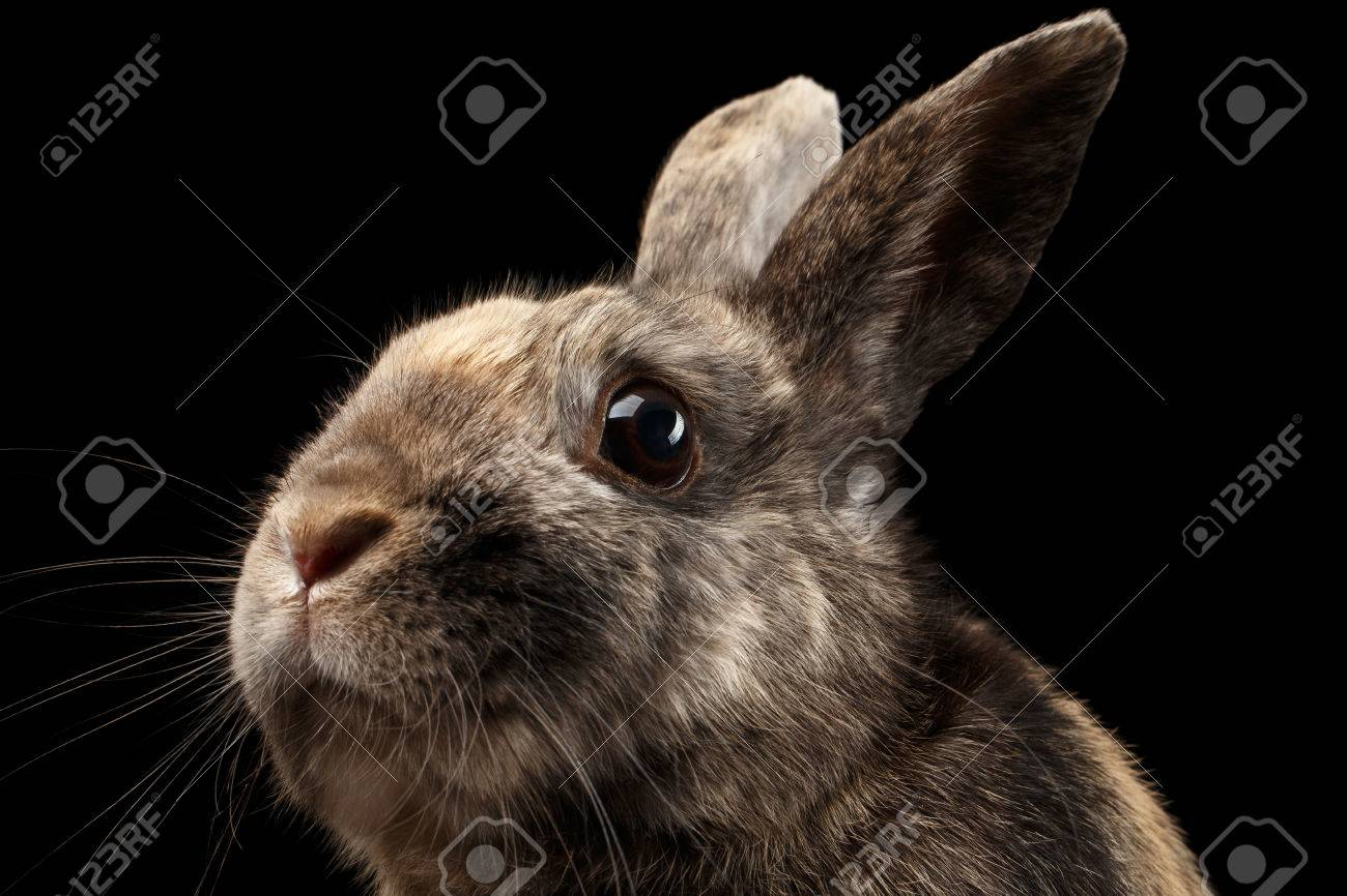 closeup head funny little rabbit brown fur isolated on black