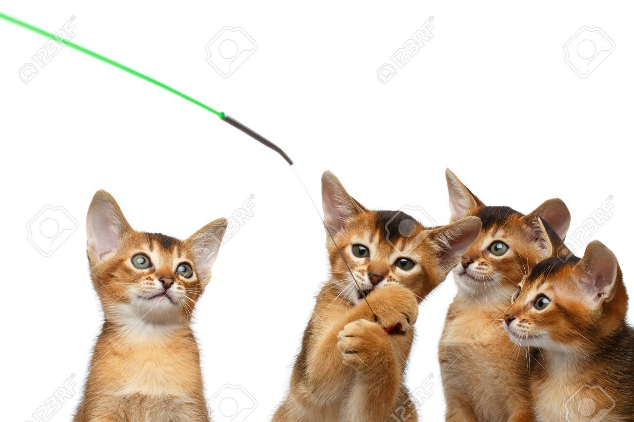 Closeup Playful Group Of Abyssinian Kitten Hunting For The Toy ...