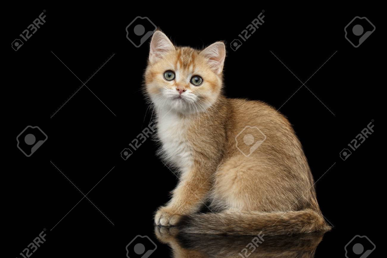 Golden Chinchilla cat: description of the breed, character, characteristics of care and maintenance 83