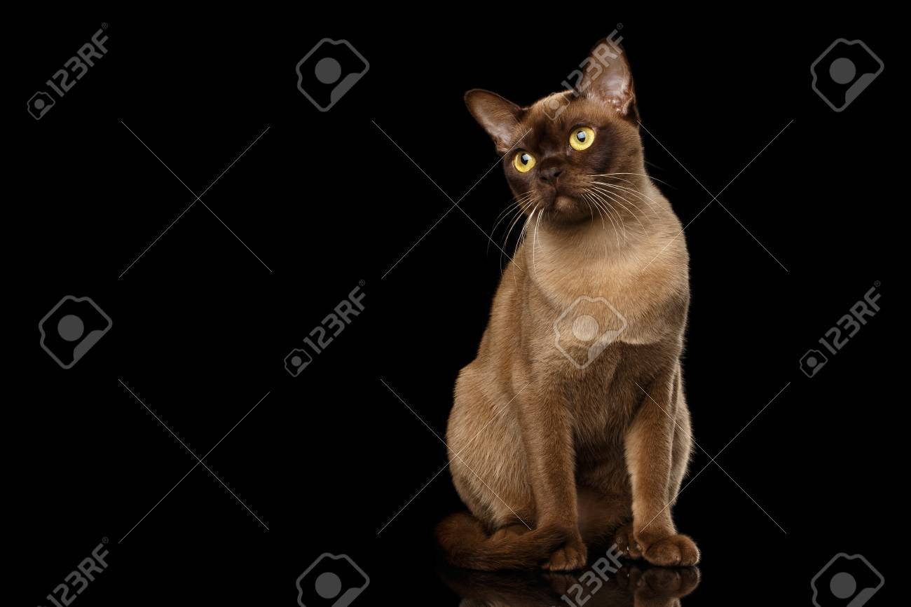 Color of cats fur - Adorable Burmese Cat With Chocolate Fur Color Sits And Curious Looking On Isolated Black