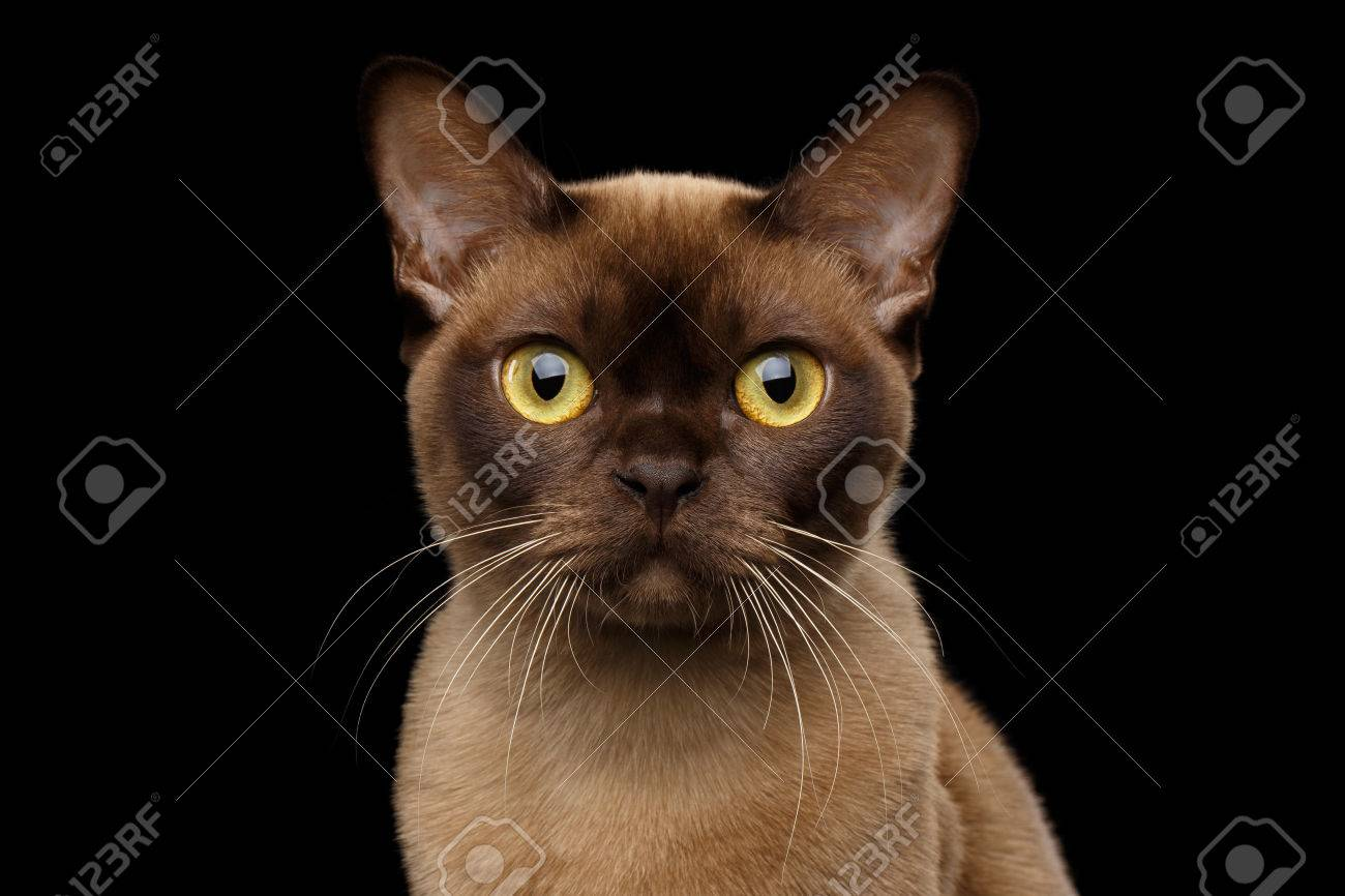 Color of cats fur - Close Up Portrait Of Brown Burmese Cat With Chocolate Fur Color And Yellow Eyes