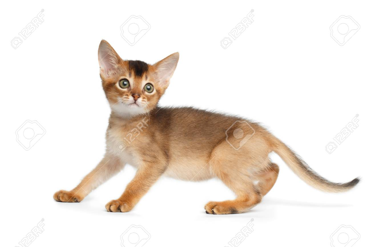 Abyssinian Cat Side View