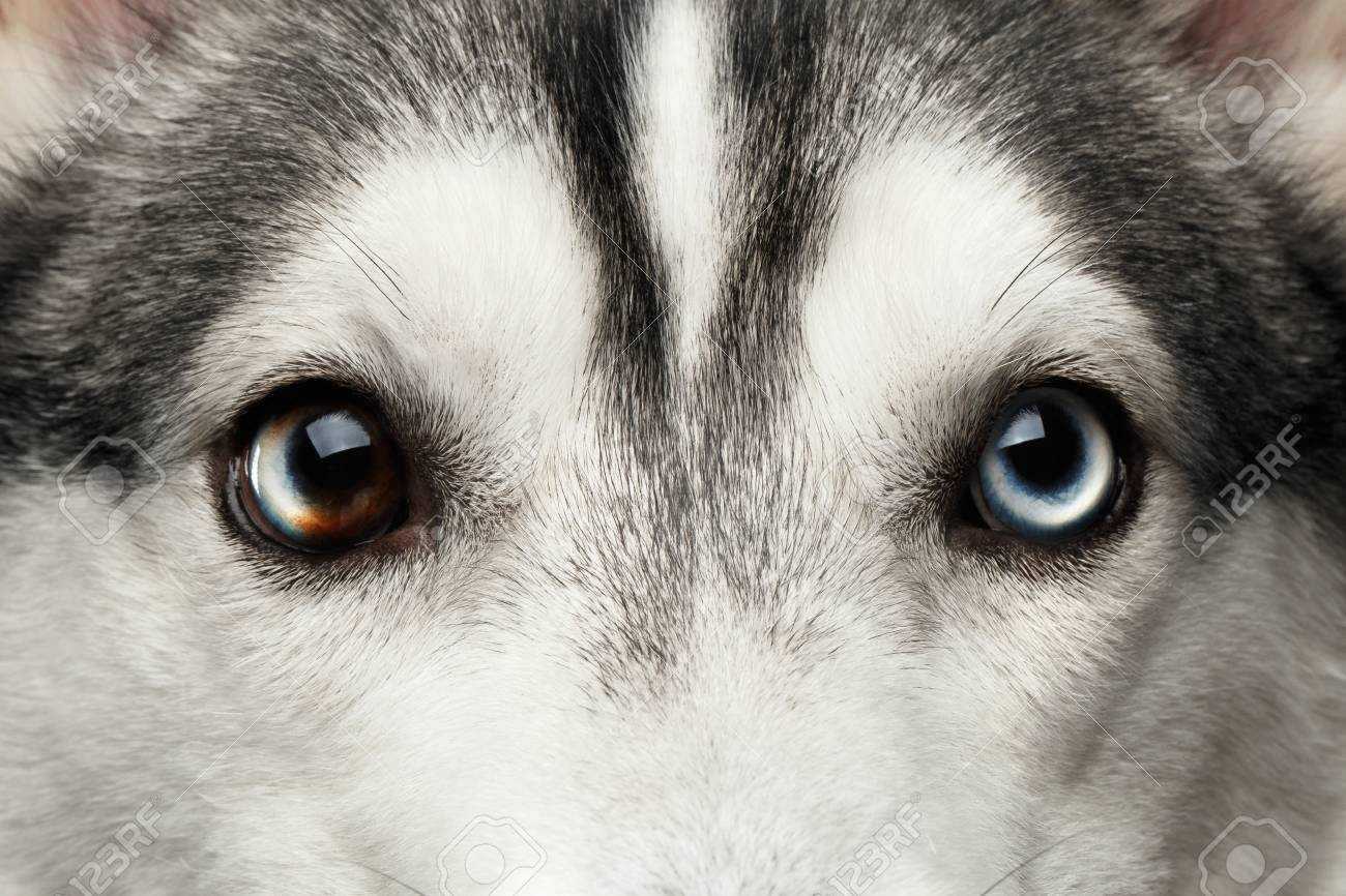 Close Up Blue Eyes With Mosaic Of Siberian Husky Dog On Isolated