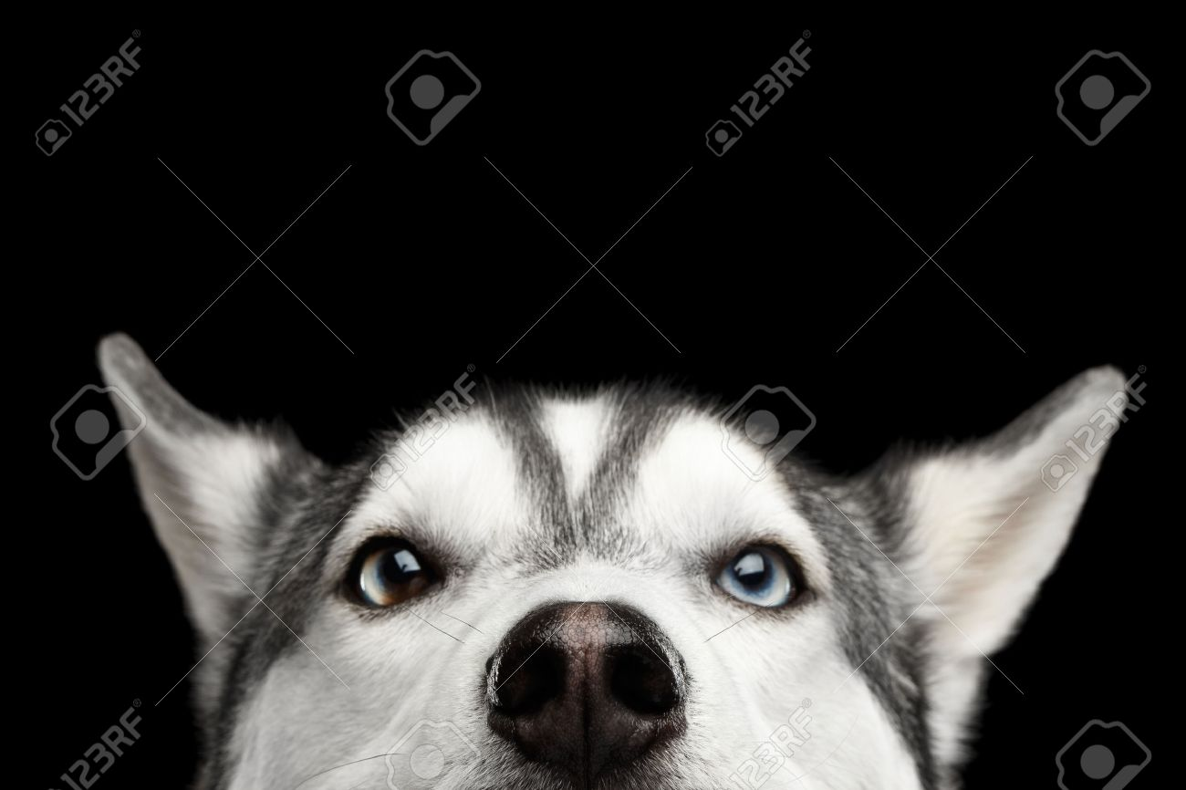 Close Up Head Of Peeking Siberian Husky Dog With Blue Eyes On