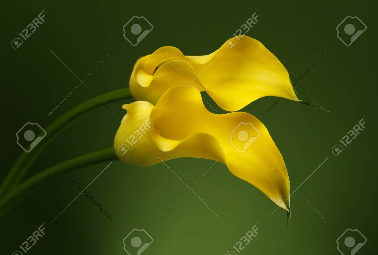 Two yellow calla lily flowers shot in studio on a green background stock photo two yellow calla lily flowers shot in studio on a green background izmirmasajfo