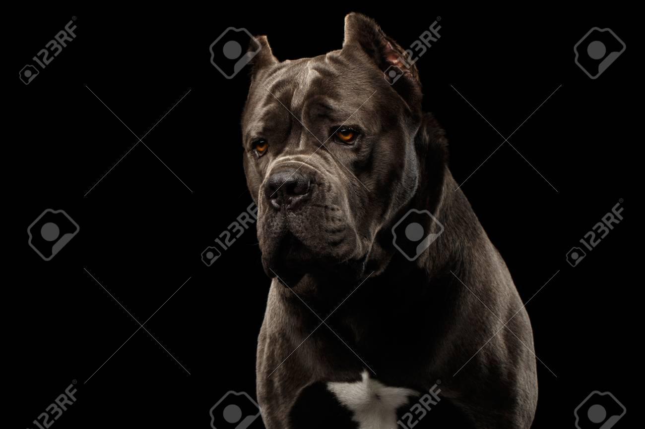 Portrait Of Sad Brown Cane Corso Dog Studio Shot On Isolated