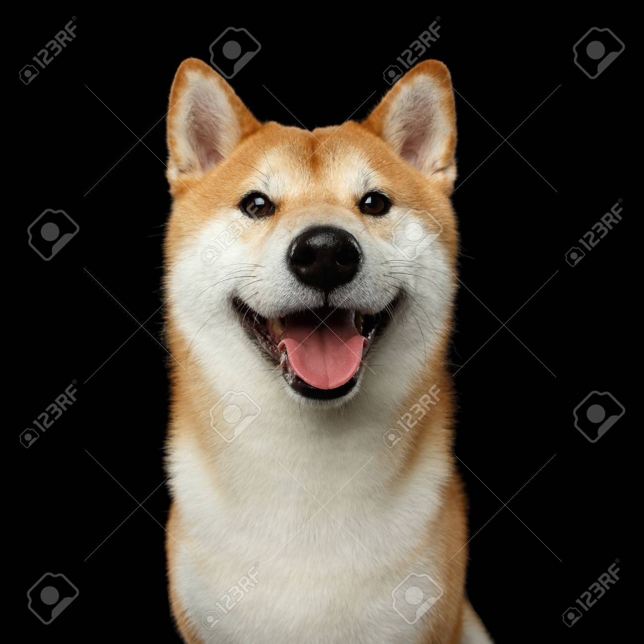 Portrait Of Smiling Shiba Inu Dog Looks Happy Isolated Black Stock Photo Picture And Royalty Free Image Image 83037480