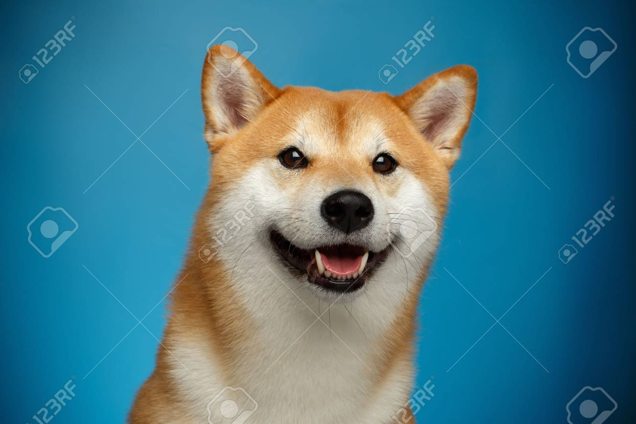 Portrait Of Smiling Shiba Inu Dog On Blue Background Front View Stock Photo Picture And Royalty Free Image Image 83037466