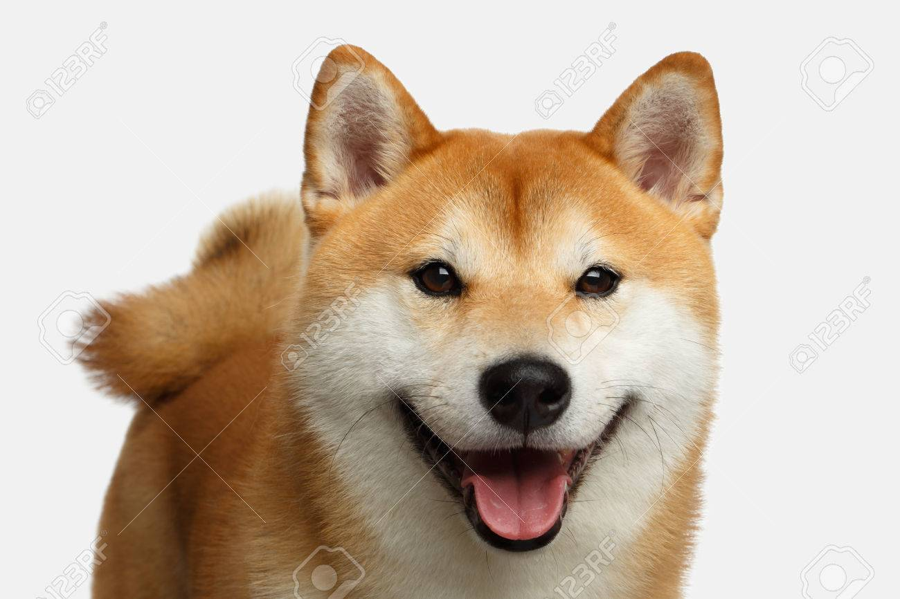 Cute Portrait Of Smiling Shiba Inu Dog On Isolated White Background Stock Photo Picture And Royalty Free Image Image 83037499
