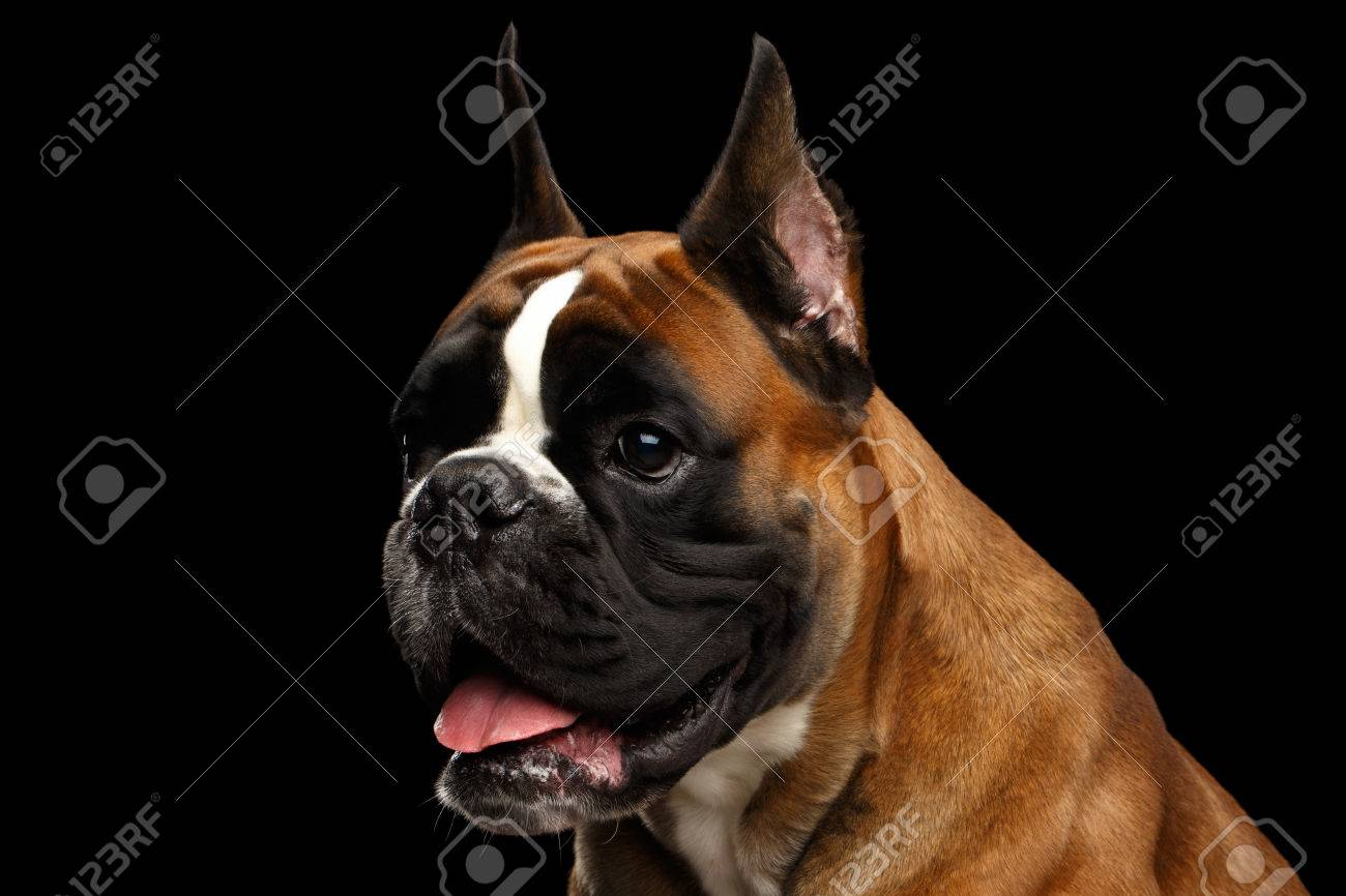 Download Boxer Black Adorable Dog - 83546005-portrait-of-adorable-boxer-dog-isolated-on-black-background  Photograph_117062  .jpg