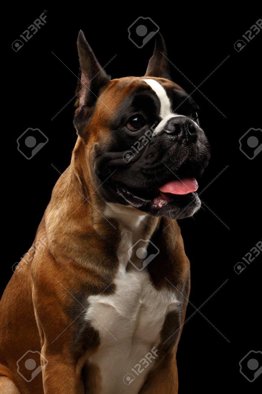 Top Boxer Black Adorable Dog - 83546006-portrait-of-adorable-boxer-dog-isolated-on-black-background  2018_646059  .jpg