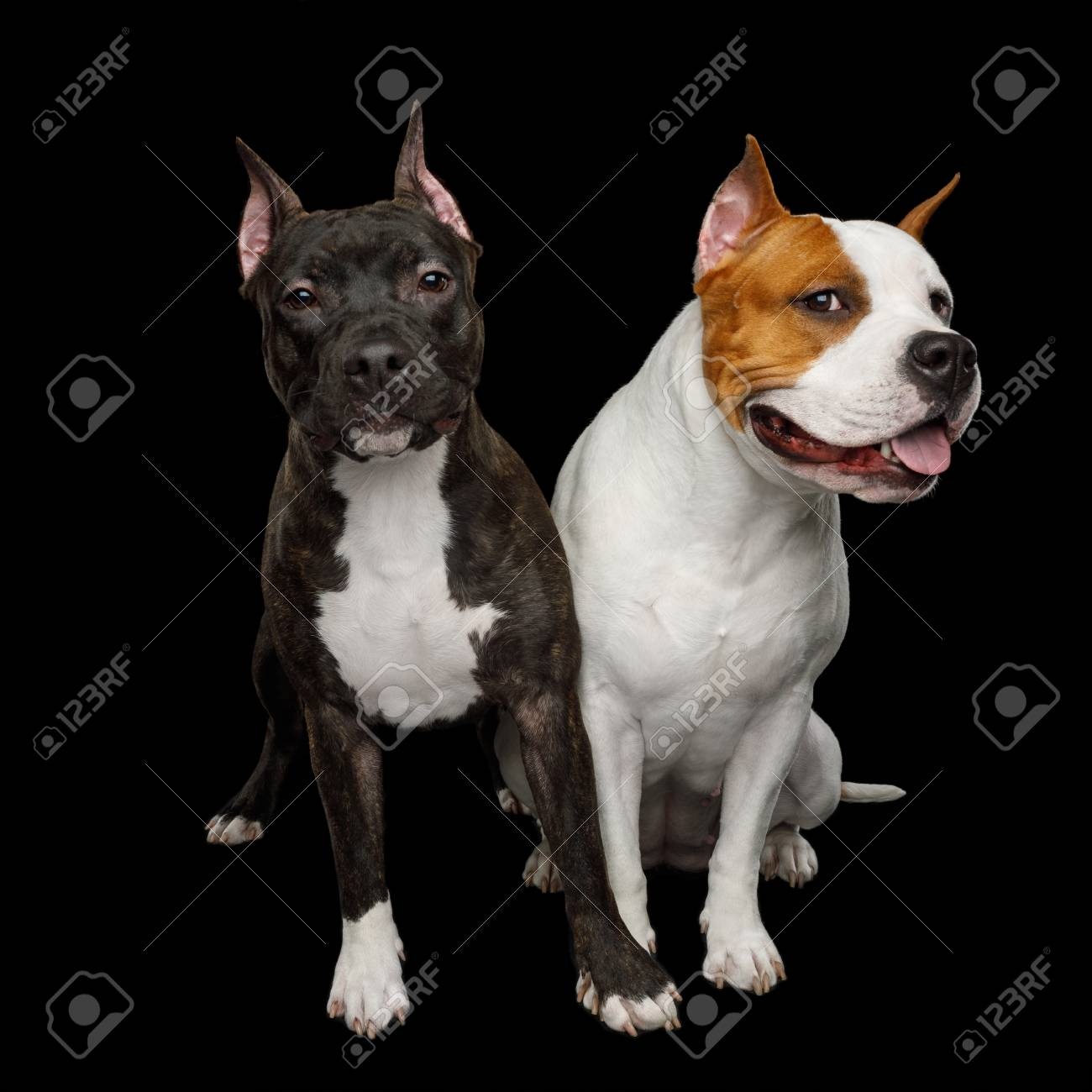 Two American Staffordshire Terrier Dogs Sitting together and