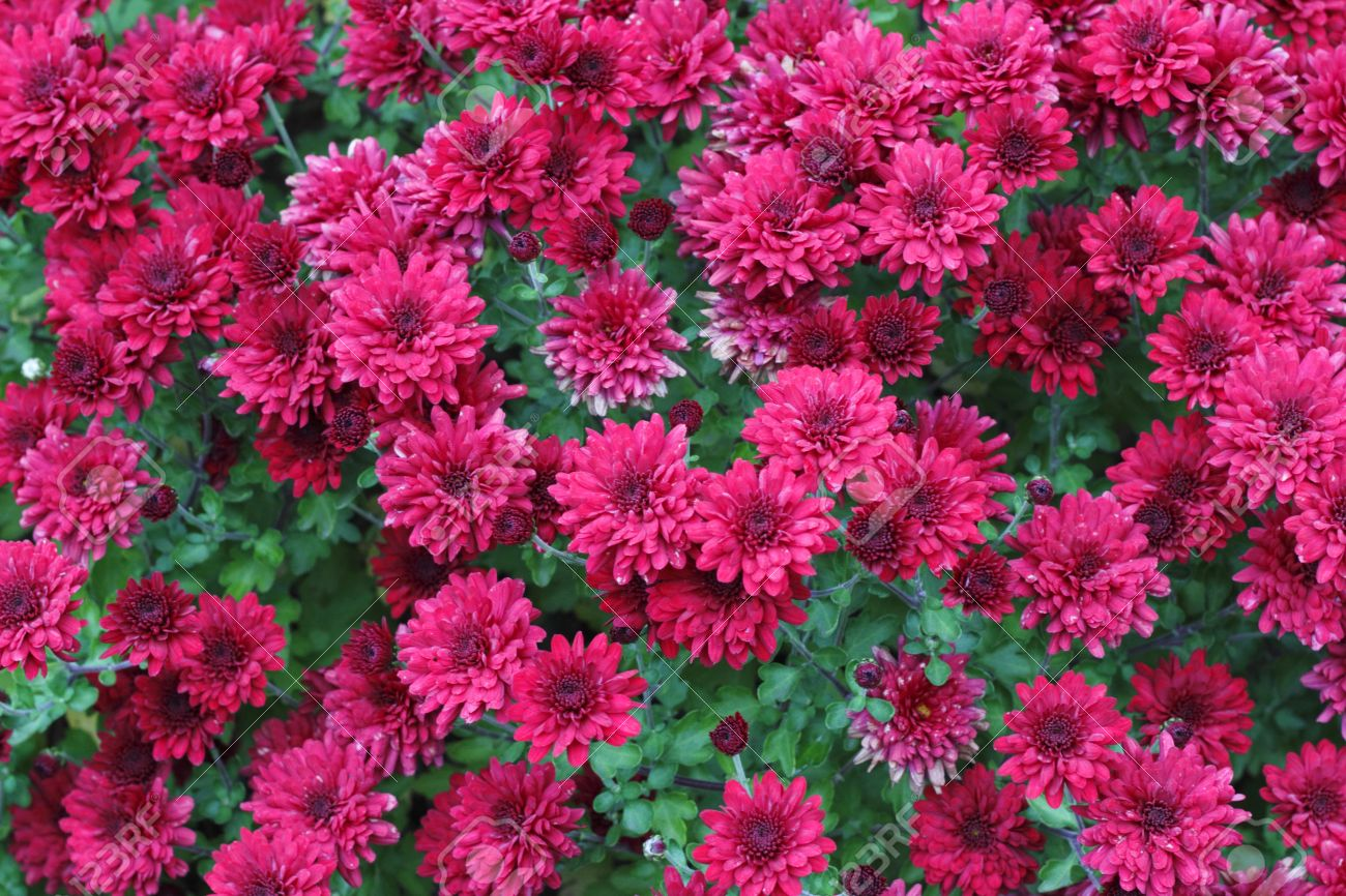 Chrysanthemum Bush Blooming Bright Flowers In The Early Part Stock