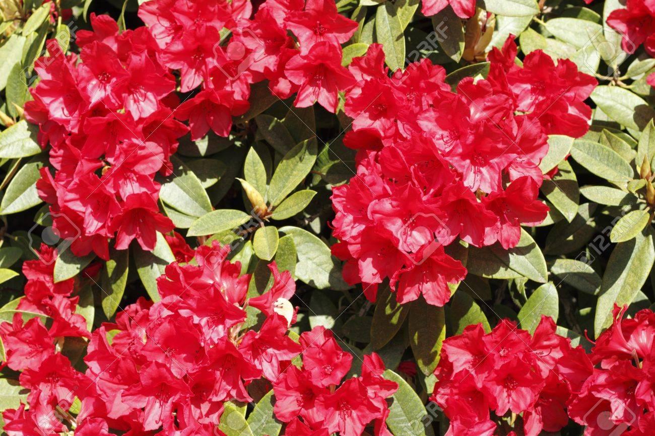 Starke Rote Blume Blüht Der Immergrüne Rhododendron Busch Aalen