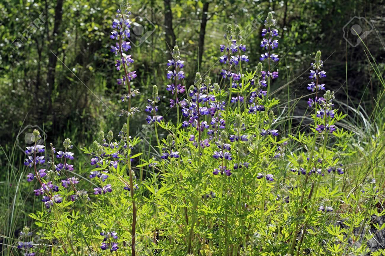 Wilde Lupinen Blumen Wachsen In Einem Schönen Schatten Der Lila In