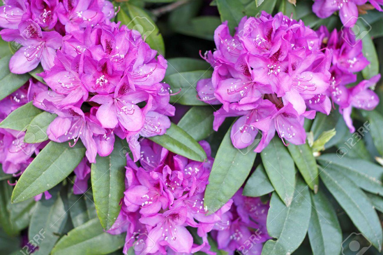 Outdoor in the spring sun is growing a pink fuchsia rhododendron flower bush Stock Photo - 14619936
