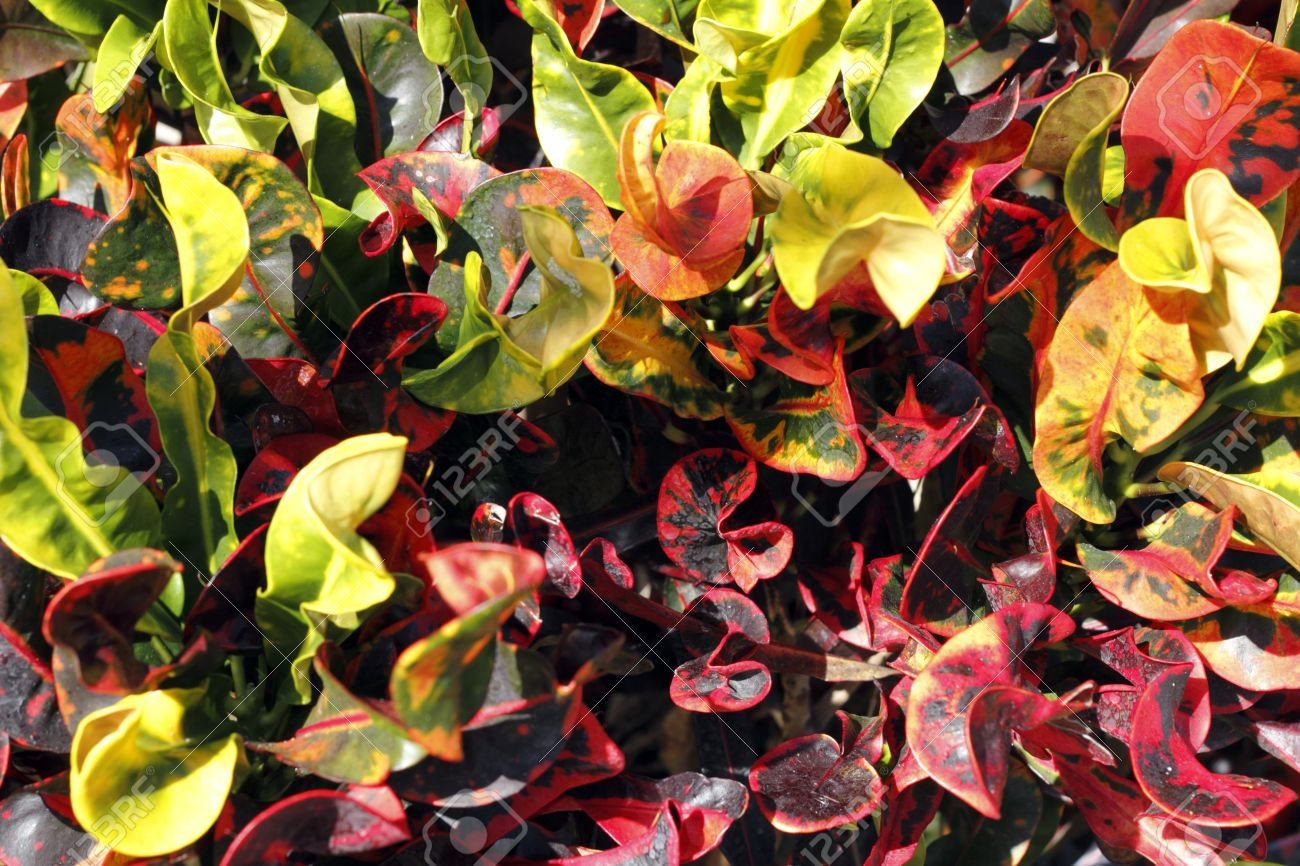 Closeup of tropical croton plant bush red yellow orange and green closeup of tropical croton plant bush red yellow orange and green leaves on a sunny winter mightylinksfo