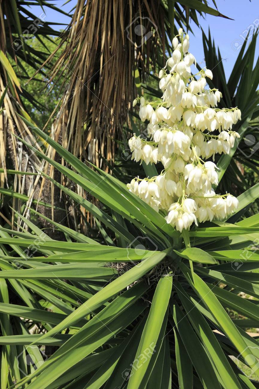 Beautiful small white cream color clusters of flowers on top beautiful small white cream color clusters of flowers on top of a tropical shrub that mightylinksfo