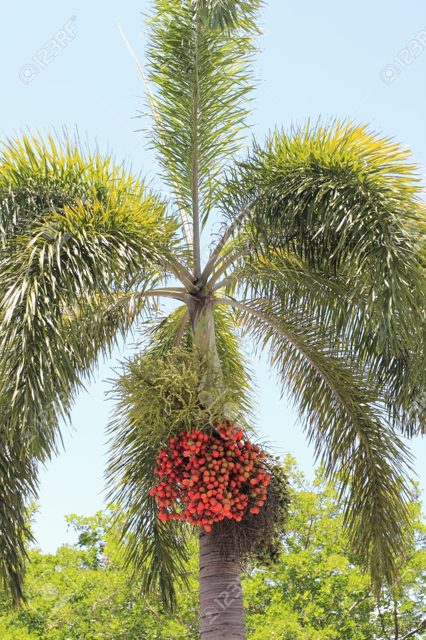 one christmas tree palm tree with its red berry fruit growing in large clusters below the - Christmas Tree Palm