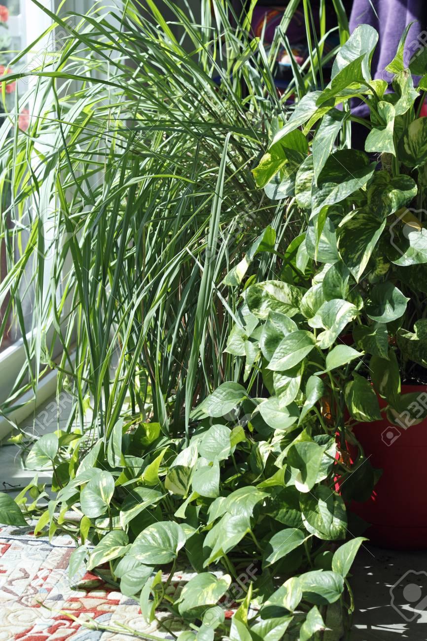 Schöne Zimmerpflanzen In Einem Wohnzimmerfenster Auf Einem