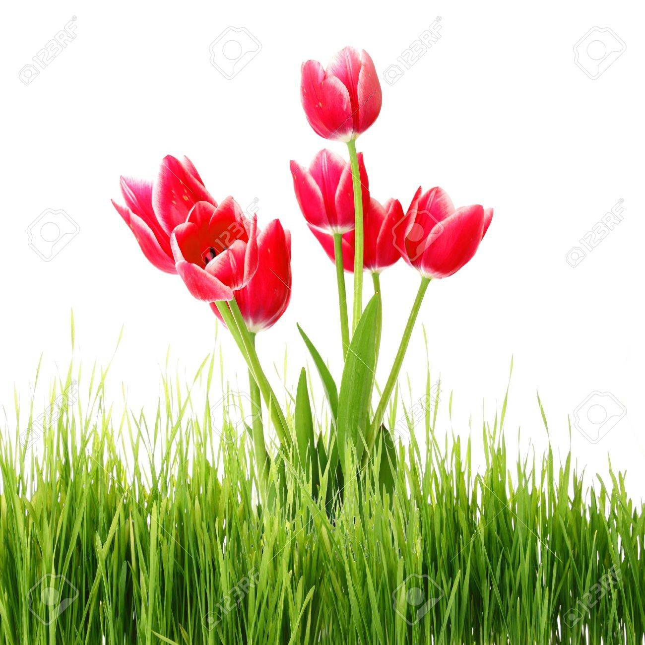Red tulips in green grass isolated on white Stock Photo - 9516311